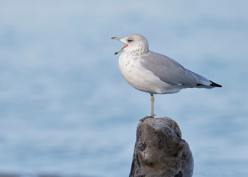 Ring-billed gull, gaviota de delaware