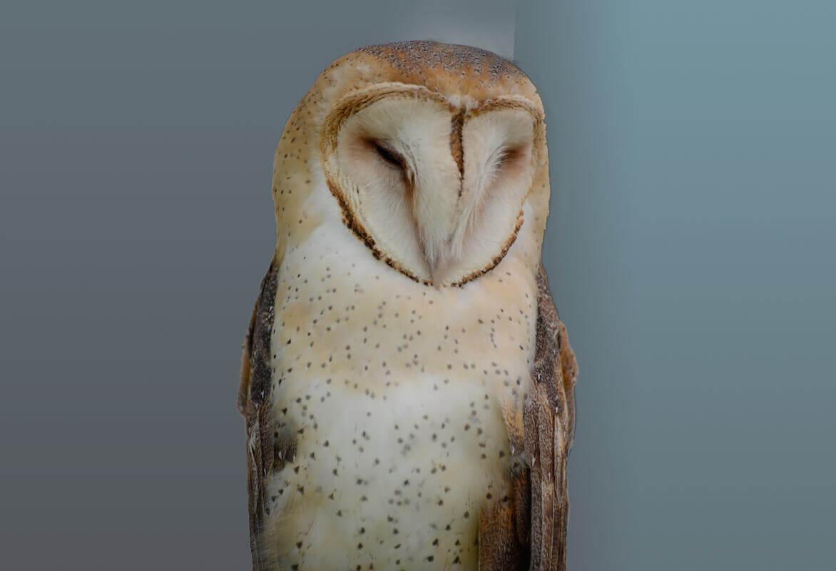 Barn Owl, Lechuza comun