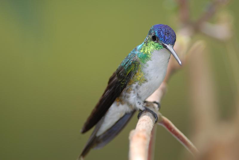 amazilia franciae, andean emerald male, amazilia andina