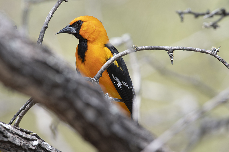 Yellow oriole, Turpial amarillo, Icterus negrogularis