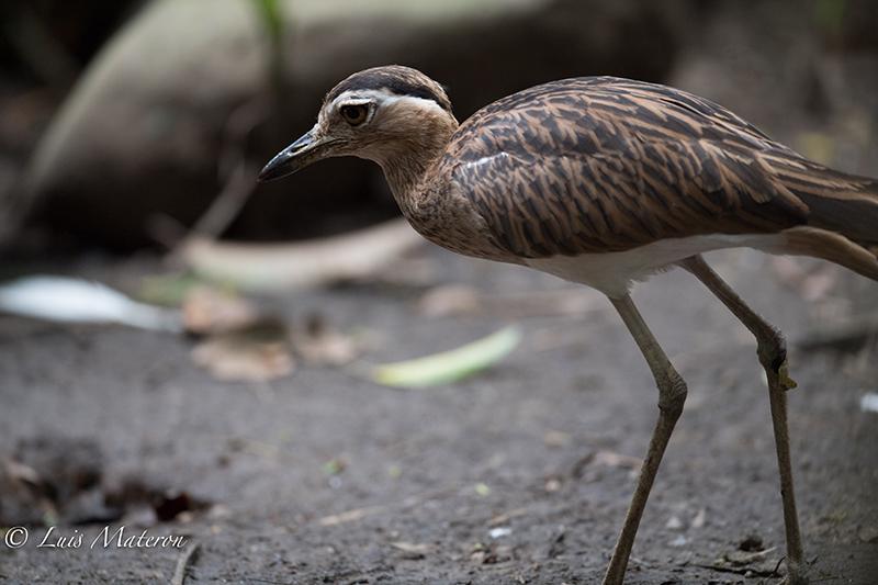 Thick-knee, Burhinus bistriatus