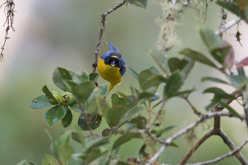 blue-winged mountain tanager | Tángara primavera | anisognathus somptuosus