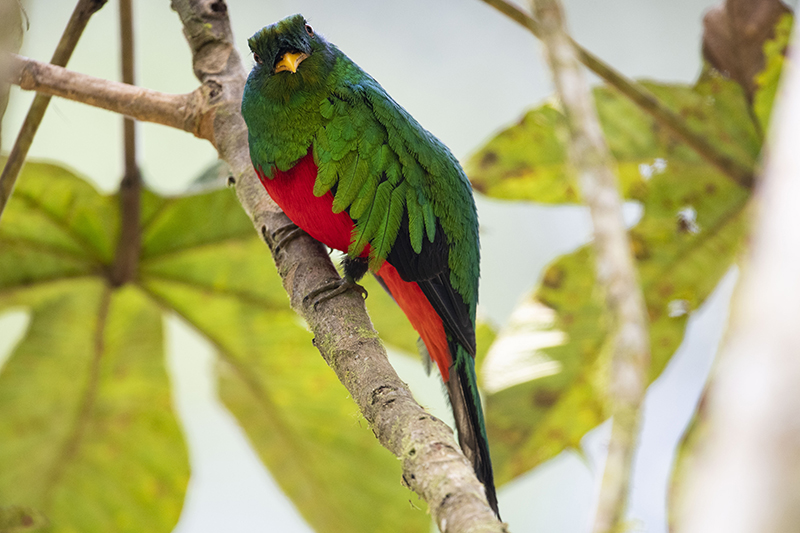 quetzal, pharomachrus auriceps