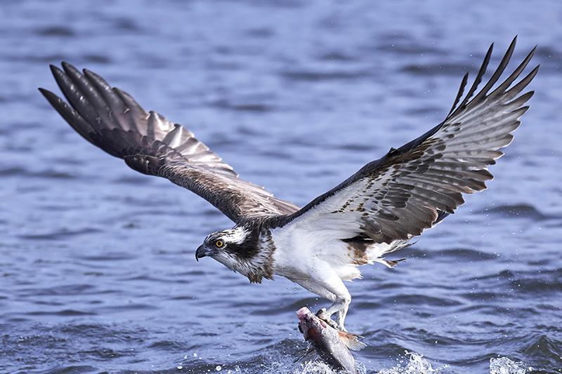 Aguila pescadora, Osprey,Pandionidae