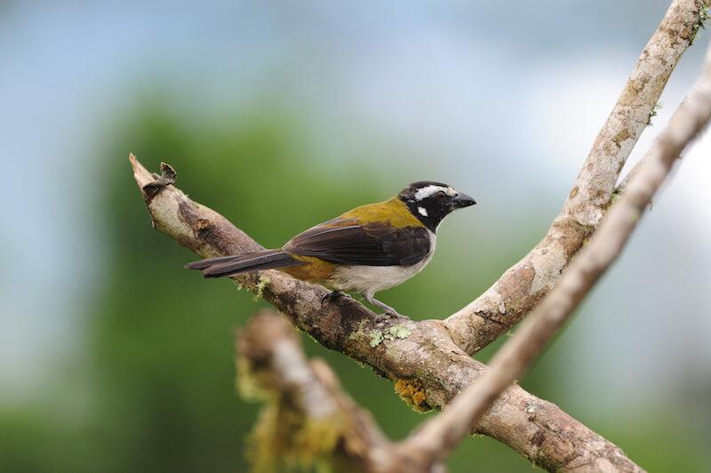 Black winged saltator, Saltador alinegro