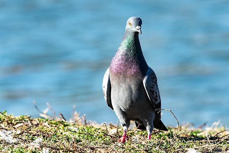 Rock Pigeon, Columba livia, Paloma Domestica, Paloma Doméstica