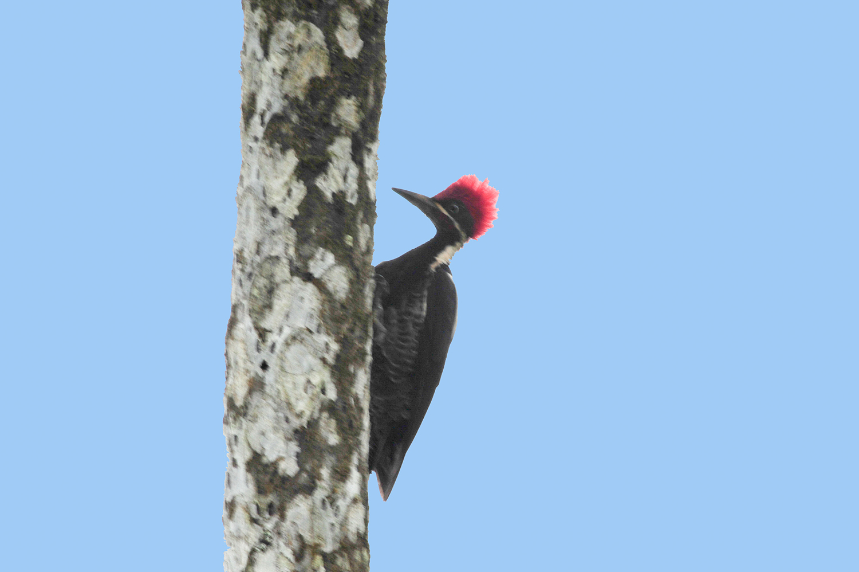 Crimson-crested woodpecker | Carpintero marcial | Camphephilus melanoleucus
