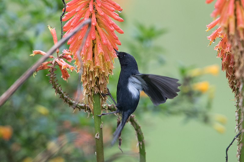 Black flowerpiercer, Diglosa negra, diglossa humeralis