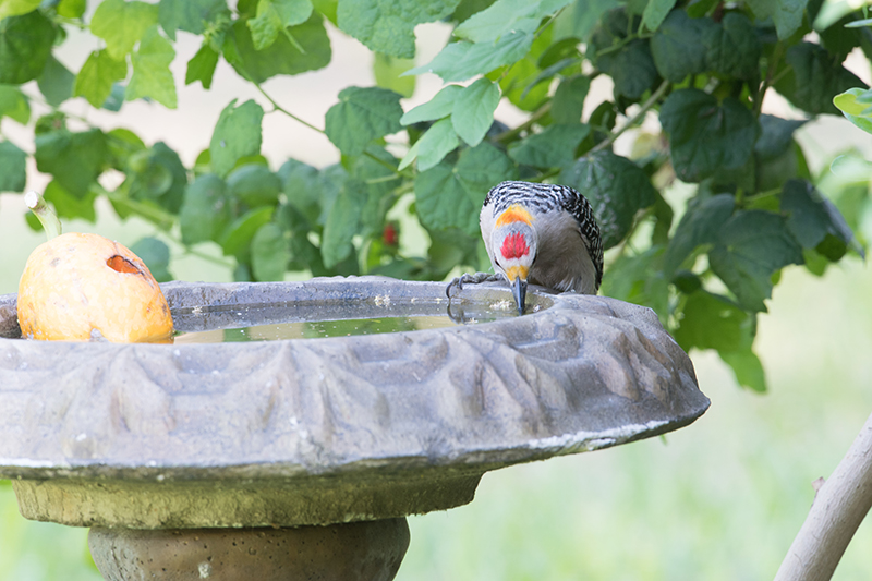 Red-crowned woodpecker   Carpintero habado   Melanerpes rubricapillus