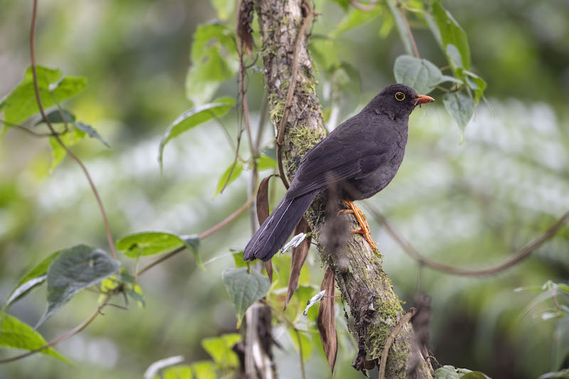 Mirla patinaranja, great thrush turdus ignobilis