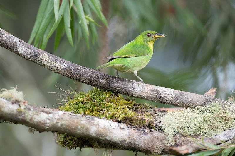 green honeycreeper, Tangara mielera