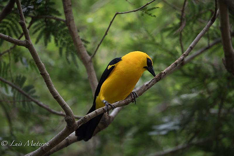 Oriole Blackbird | Turpial Lagunero | Gymnomystax mexicanus