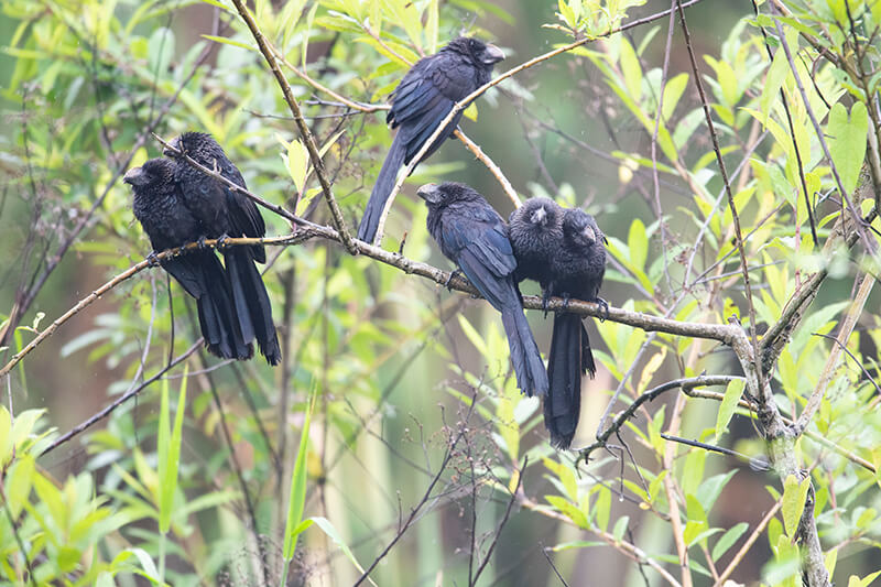 Smooth-billed ani, Garrapatero piquiliso, Crotophaga ani