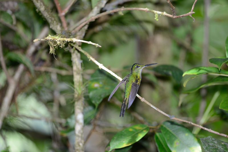 long-billed starthroat, picudo coronado