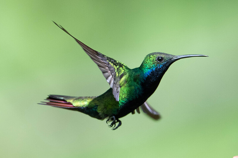black-throated mango female hummingbird