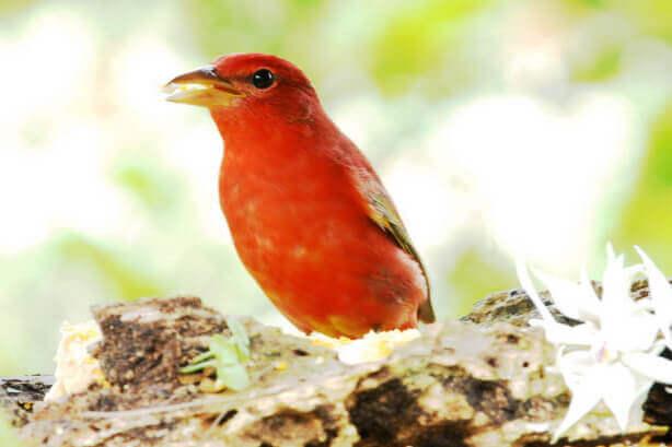 Piranga rubra, cardinal