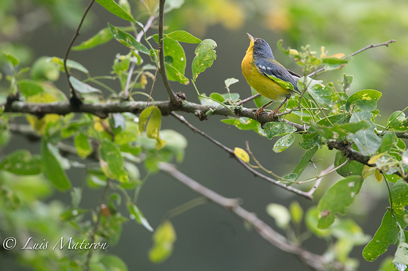 Tropical Parula | Reinita Tropical | Setophaga pitiayumi