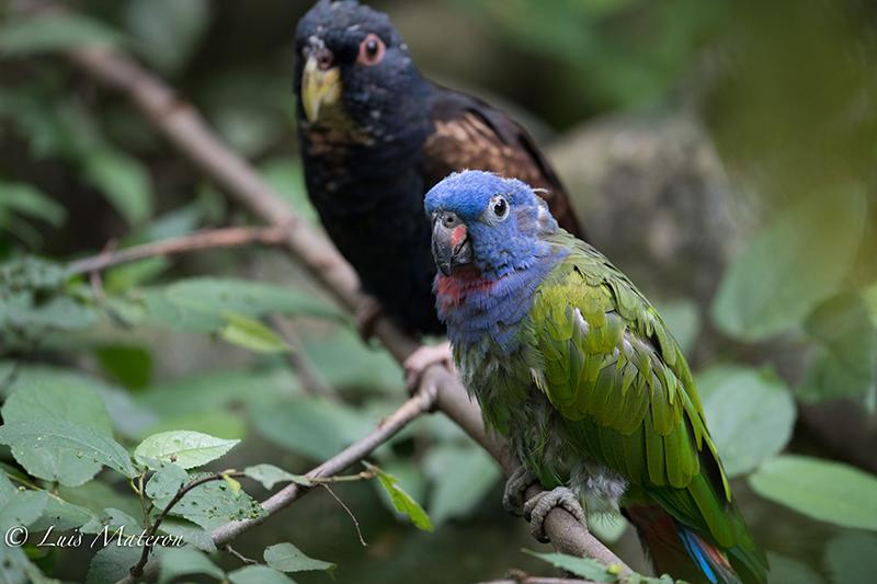 bronze-winged parrot, cotorra colinegra, Psitticara wagleri