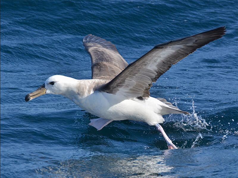 waved-browed albatross, albatros de ceja negra