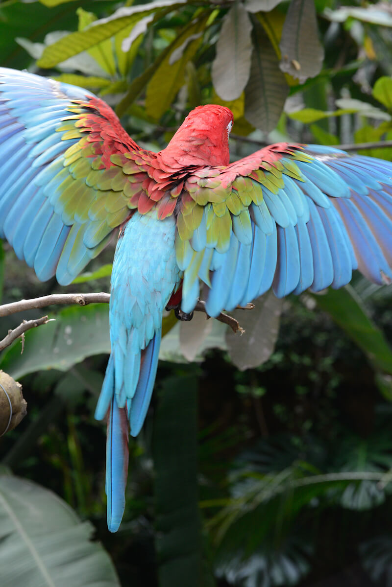 Green and red macaw, Guacamaya rojiverde
