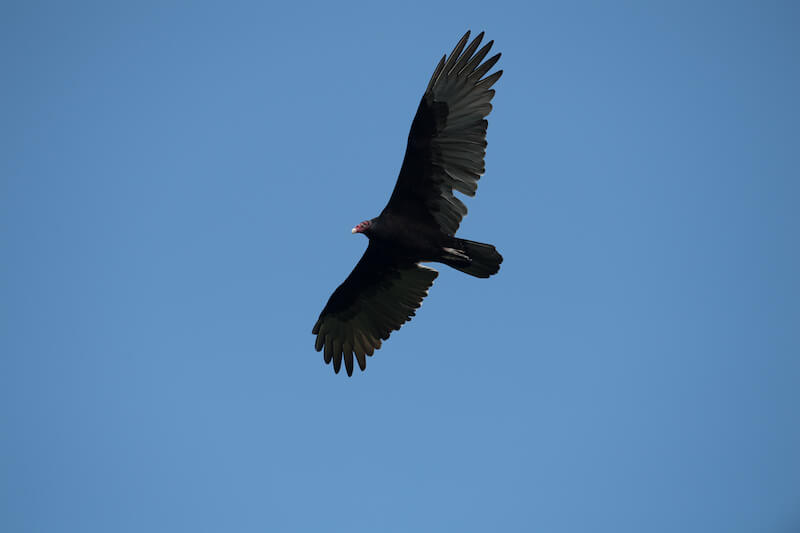 Cathartes aura, Turkey vulture
