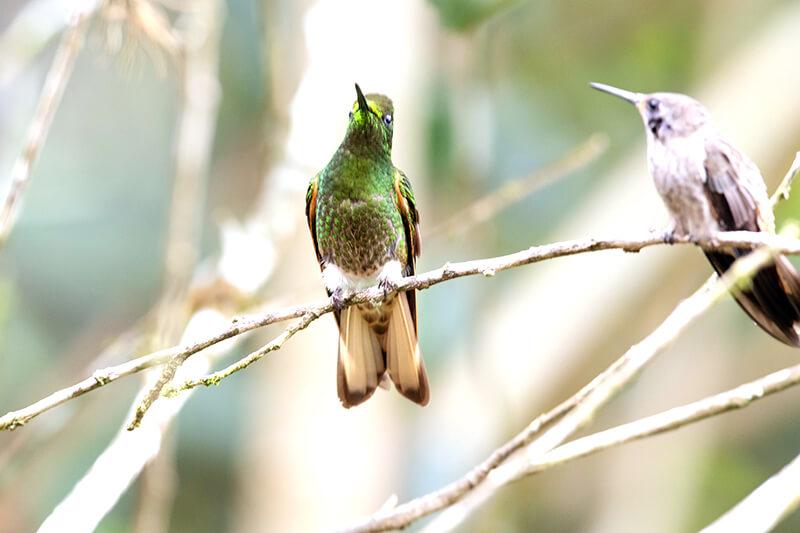 Buff-tailed coronet, colibri chupasavia, Boissennaua flavescens
