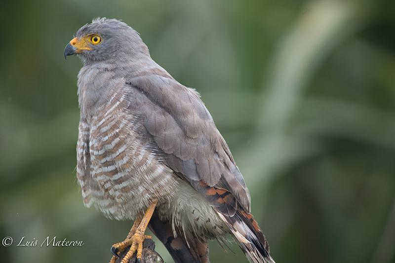 roadside hawk, gavilan caminero, Rupornis magnirostris