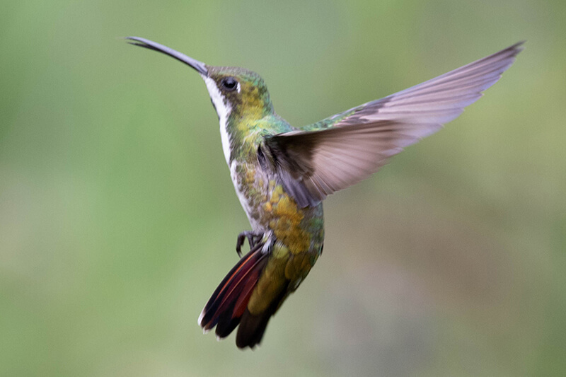 black-throated mango male hummingbird