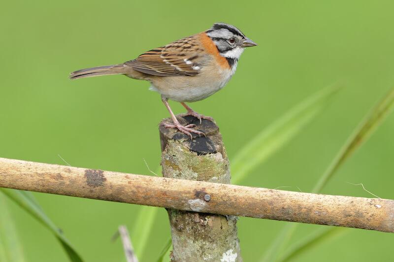 rufous-collared sparrow, copetoncito común, zonotrichia capensis