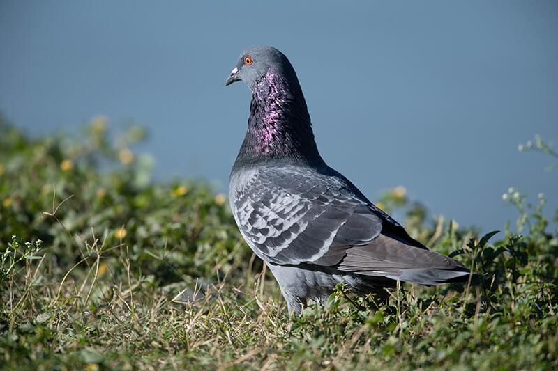Rock Pigeon, Columba livia, Paloma Doméstica