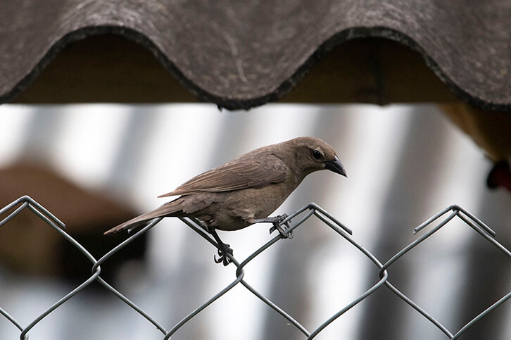 Shiny cowbird, Chamon parasito, Molothrus bonariensis