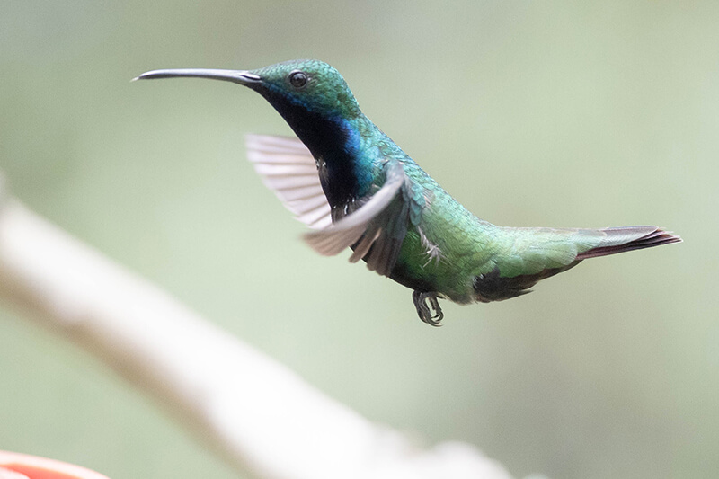 black-throated mango female hummingbird