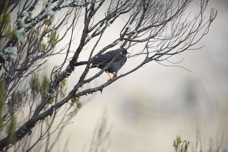 black-billed-thrush, mirla ollera, turdus ignobilis