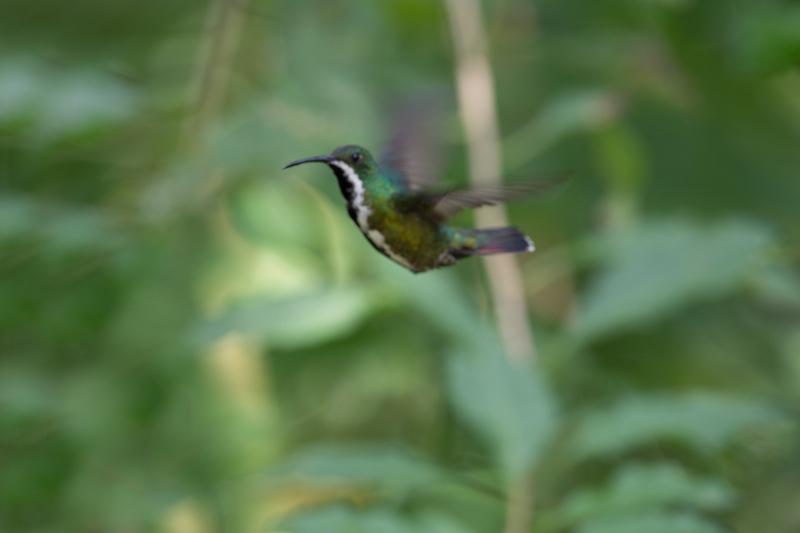 black-throated mango male hummingbird