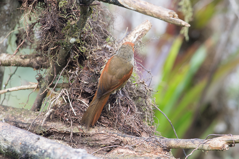 Azara's Spinetail, Chamicero Piscuis