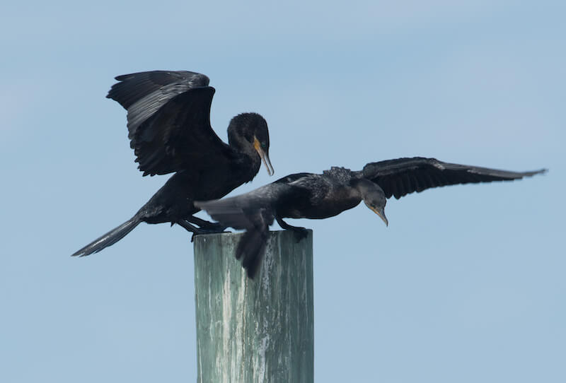 Neotropical Cormorant , Cormoran neotropical, Phalacrocorax brasilianus