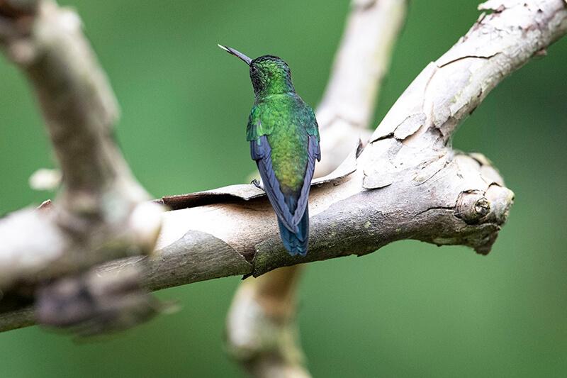 Chlorostilbon mellisugus, Blue-tailed emerald, Esmeralda coliazul