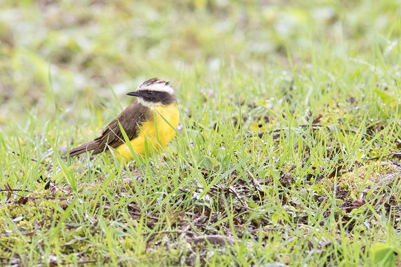 Rusty-margined Flycatcher | Suelda Crestinegra | Myiozetetes cayanensis