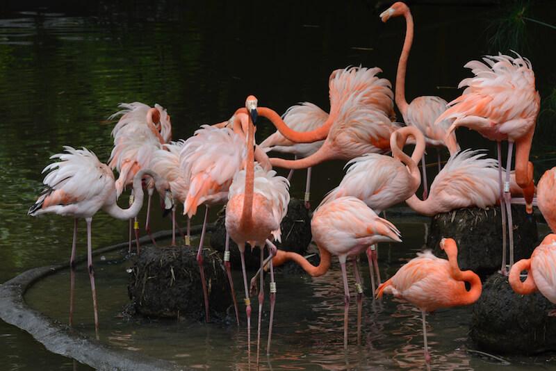 American Flamingo | Flamenco americano | phoenicopterus ruber