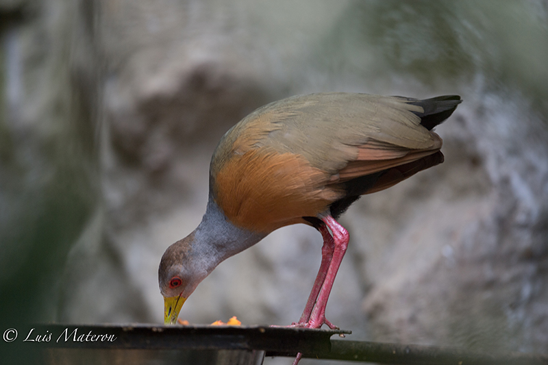 Grey-necked wood rail - Chilacoa cojinegra