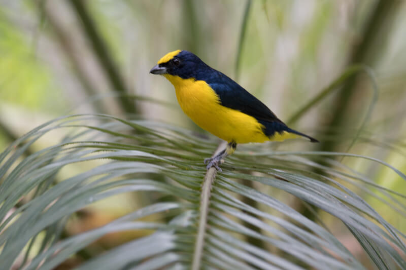 tick-billed euphonia, eufonia gorgiamarilla