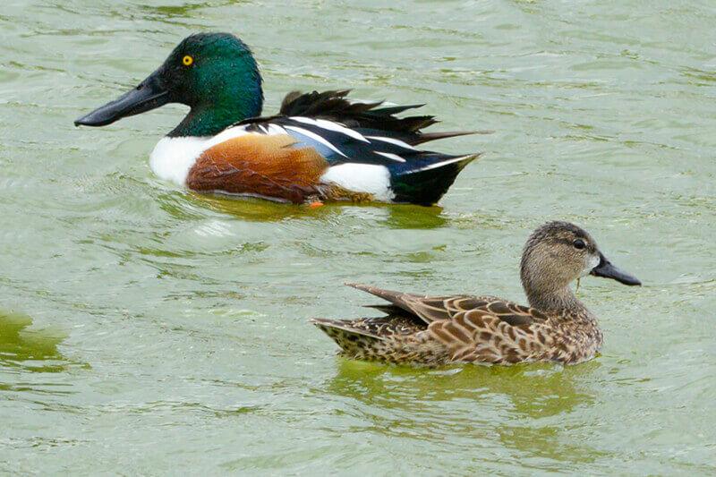 Duck Gallery