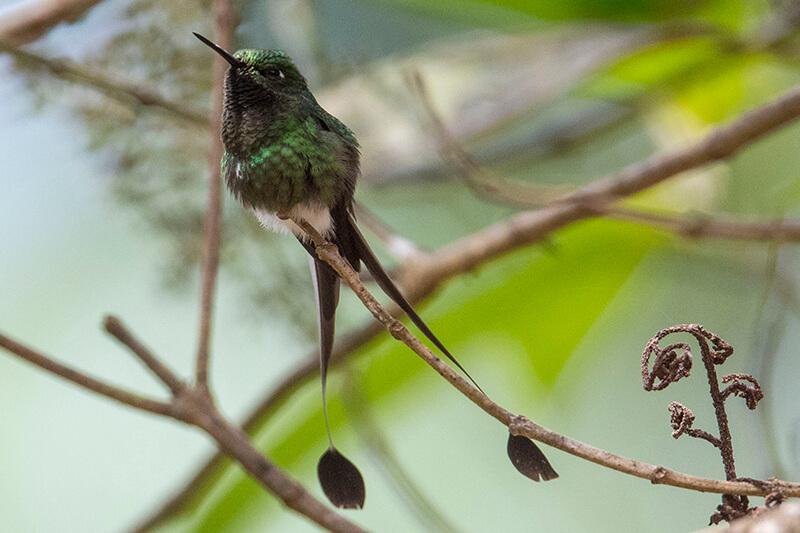 Green hermit, Hermitaño verde, Phaethornis guy