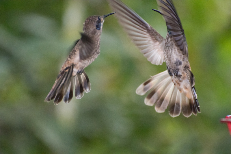 brown violetear male
