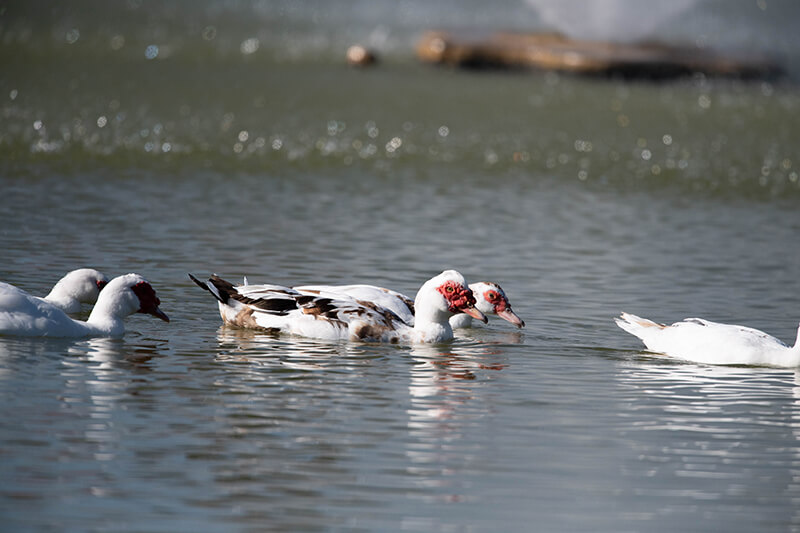 Muscovy Duck, Pato Real, Cairina moschata