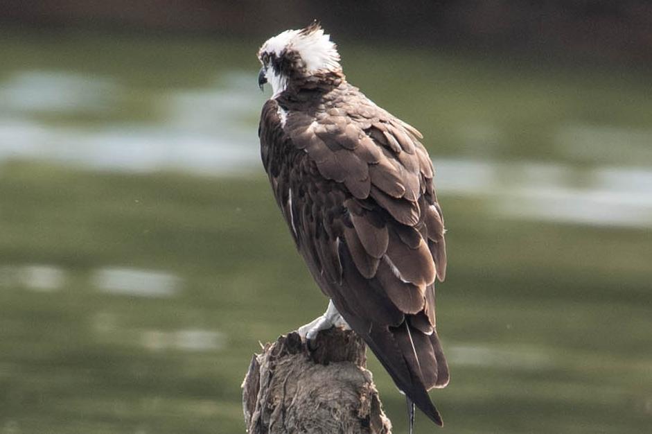 Pandion haliaetus, western osprey, Aguila pescadora, águila pescadora